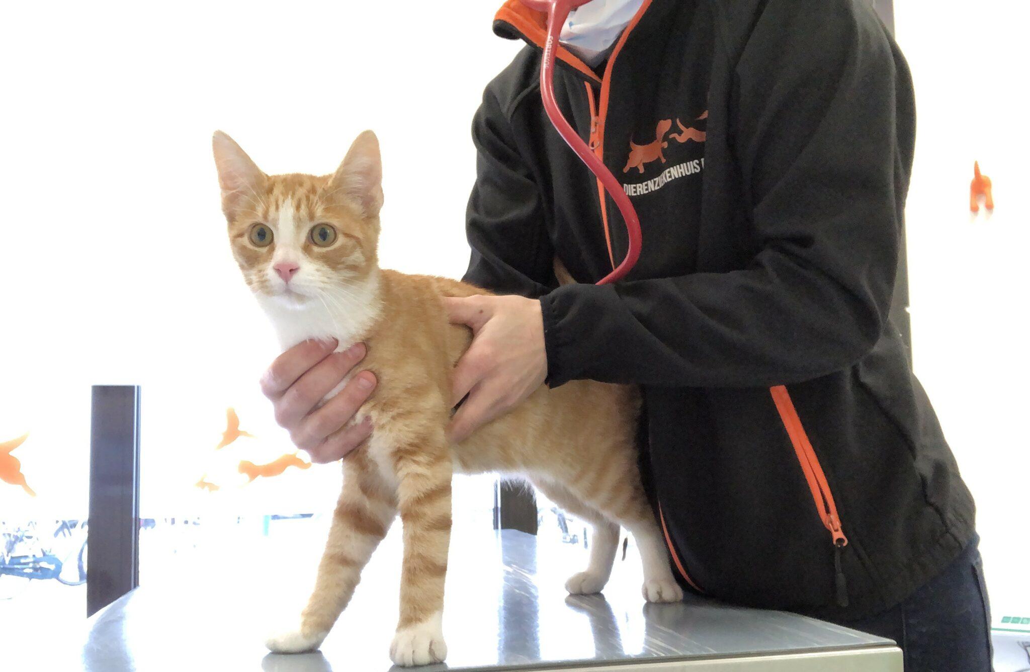 hart beluisteren kat dierenarts